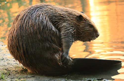 beavers-for-coats