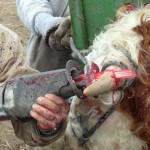 The Cruel Act of Cattle Dehorning