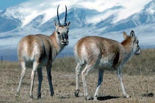 chiru-tibetan-antelope