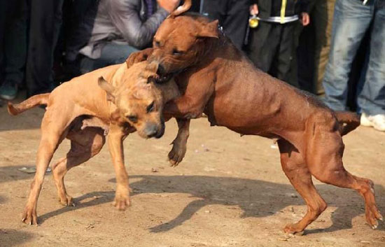 animal cruelty in dog fighting across the world Beyond the need to recognize and put an end to animal cruelty for the sake of the animal fighting dogs for sport, for across the country to combat animal cruelty.