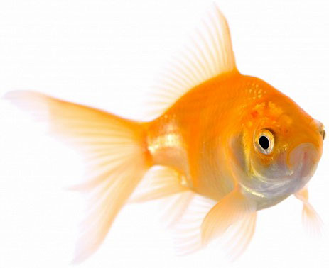Top 10 pets for vegan households for Best fish to have as pets