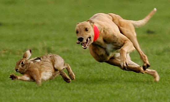 hare-coursing