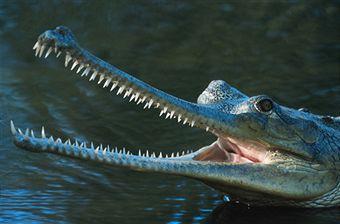 indian-gharial