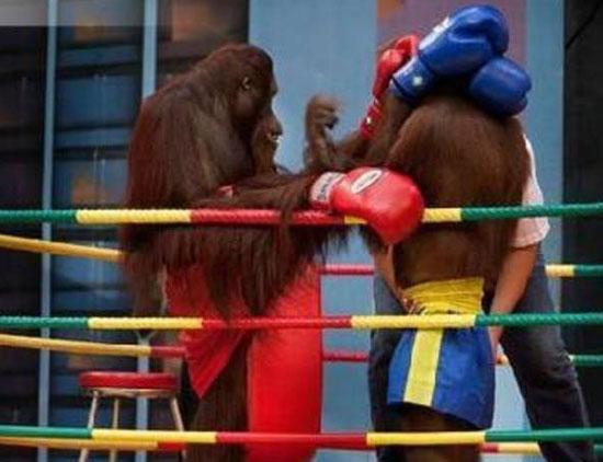 orangutan-boxing