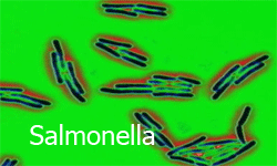 Salmonella in chicken