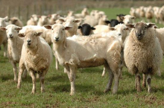 sheep-shearing